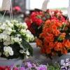 Kwiaty na balkon i taras - begonia stale kwitnąca