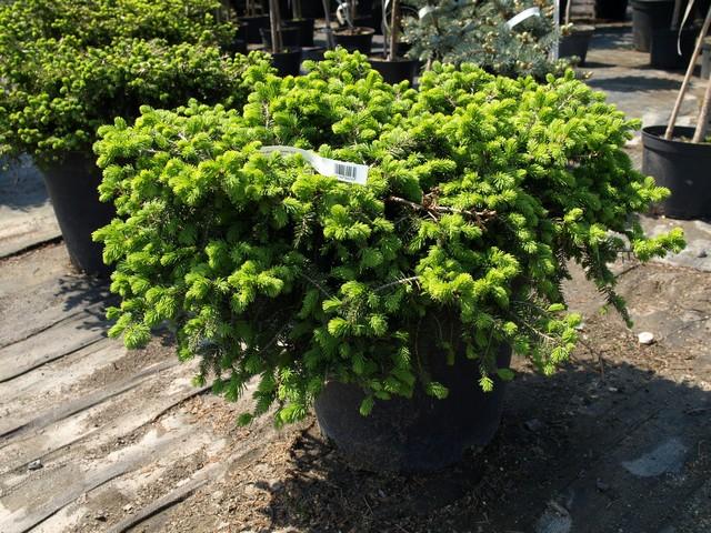 Świerk biały – wolno rosnące drzewo o szerokiej, stożkowej formie i jasnych kremowych pędach. Najbardziej popularna odmiana karłowata to 'Conica'. Wzrasta bardzo wolno – po 10 latach osiąga około 1 m wysokości. Bardziej odporna na mróz jest odmiana 'Alberta Globe'. Świerk biały preferuje stanowisko słoneczne.