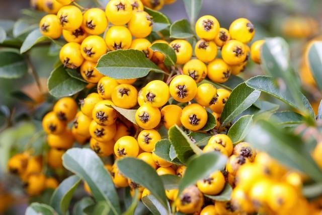 Ognik szkarłatny – odporny na zimową aurę krzew o prostym pokroju. Przemarzać mogą jedynie młode okazy. Łagodną zimą błyszczące zielone liście pozostają na łodygach. Ognika charakteryzują ozdobne kuliste owoce w pomarańczowoczerwonym kolorze. Pięknie prezentują się oszronione. Roślina nie ma dużych wymagań glebowych. Preferuje stanowisko nasłonecznione lub półcieniste.