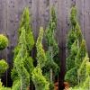 krzewy-na-balkon-i-taras-krzewy-odporna-na-mroz-3-jpg