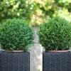 krzewy-na-balkon-i-taras-krzewy-odporna-na-mroz-8-jpg