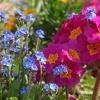 Kwiaty na balkon i taras - niezapominajka leśna