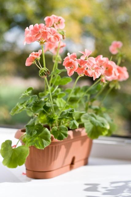 Pelargonie Sprawdzone Kwiaty Na Balkon I Taras