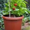 uprawa-pomidorki-jpg