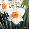 narcyz-flower-record-jpg