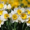 wiosenne-kwiaty-na-balkon-i-taras-narcyz-canaliculatus-jpg
