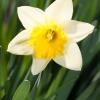 wiosenne-kwiaty-na-balkon-i-taras-narcyz-ice-follies-jpg