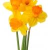 wiosenne-kwiaty-na-balkon-i-taras-narcyz-jetfire-jpg