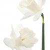 wiosenne-kwiaty-na-balkon-i-taras-narcyz-thalia-jpg