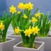 wiosenne-kwiaty-na-balkon-i-taras-narcyzy-jpg