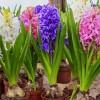 Kwiaty na balkon i taras: hiacynty, stokrotki