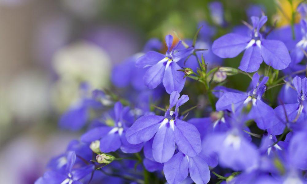 kwiaty-na-balkon-i-taras-lobelia