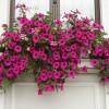Rośliny wiszące na balkon i taras - rośliny o wiszących pędach