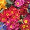 Kwiaty na balkonie i tarasie – pierwsze kolory wiosny