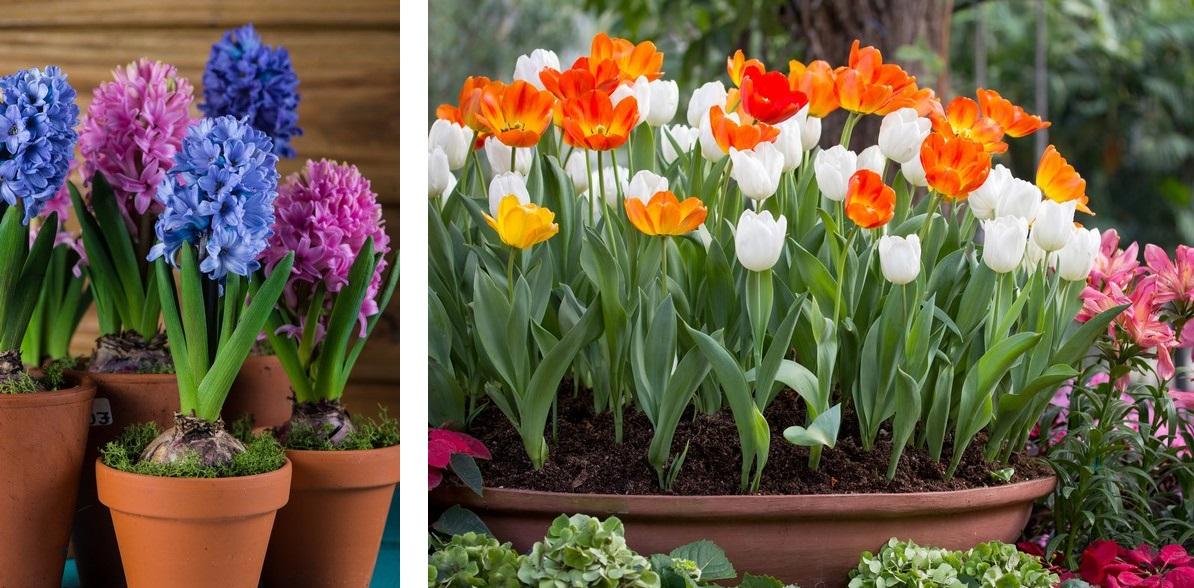 Group of fresh bulb spring flowers in ceramic pot