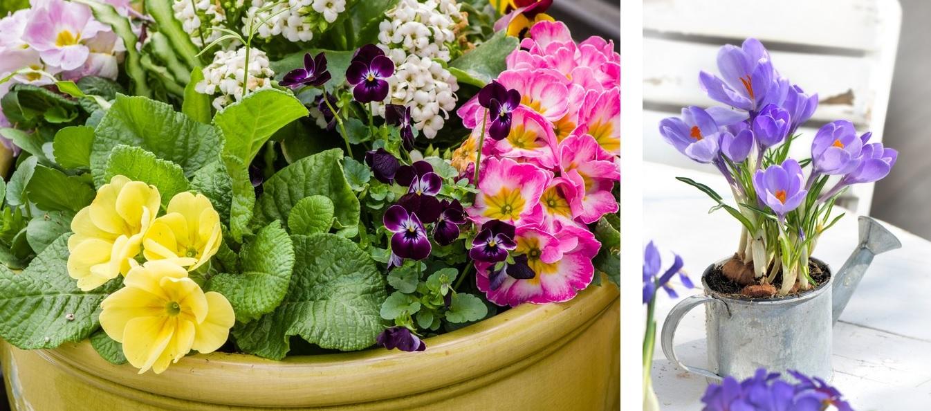 pierwsze-kwiaty-na-balkon-wiosenne-kwiaty