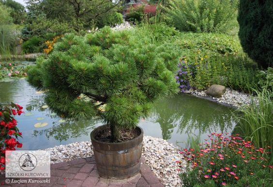Pinus nigra' Pierrick Brégeon' / źródło: kurowski.pl