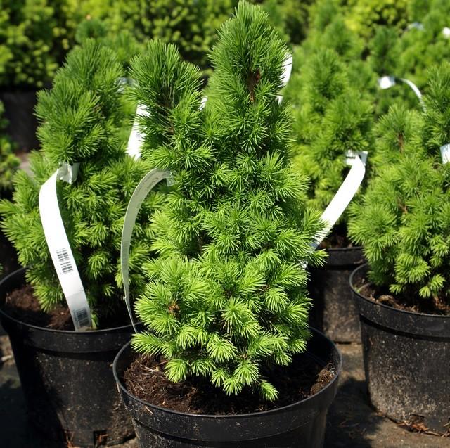 """Picea glauca """"Conica"""""""