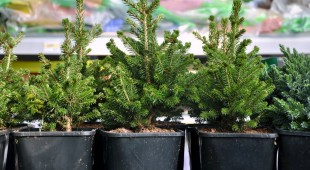 Many black pots with soil and seedlings of coniferous trees.